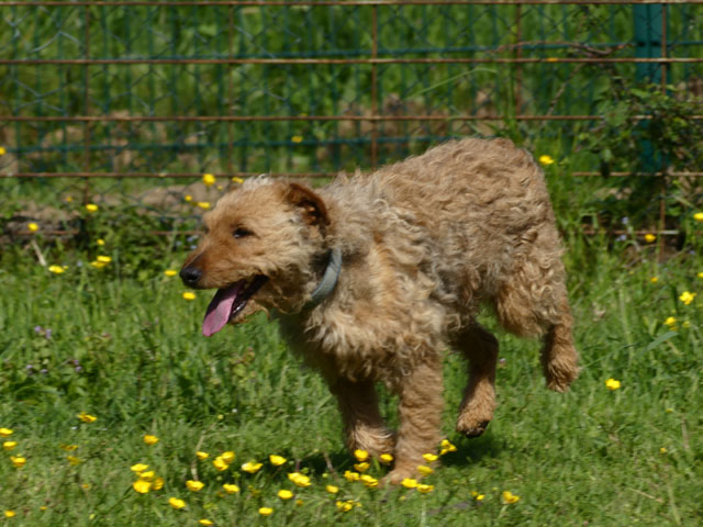 FALCO (Fox Terrier) Falco411