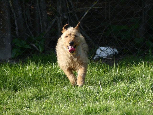 FALCO (Fox Terrier) Falco810
