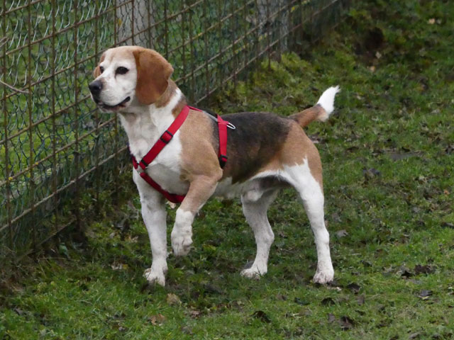 FIDJY (Beagle) Fidji211
