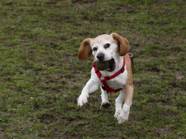FIDJY (Beagle) Fidji410