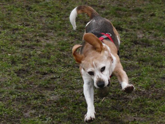 FIDJY (Beagle) Fidji510