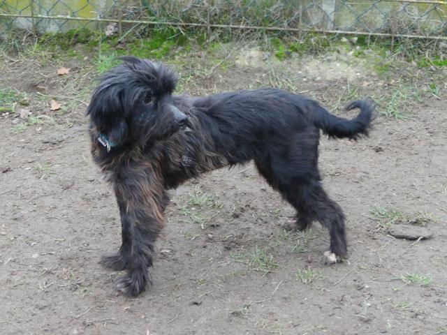 HARMONIE (Croisée Yorkshire Terrier) Harmon11