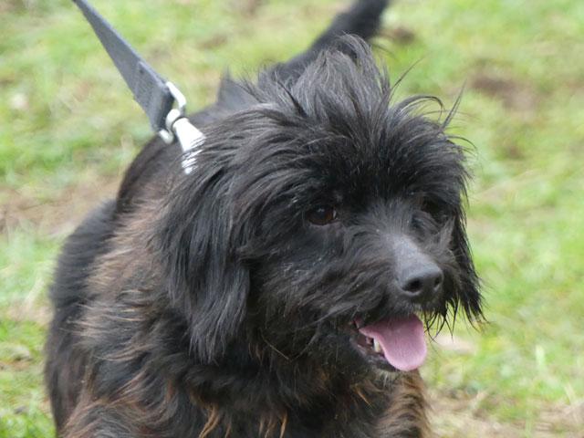 HARMONIE (Croisée Yorkshire Terrier) Harmon12