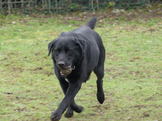 HUGO (Labrador) Hugo112