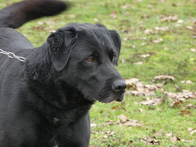 HUGO (Labrador) Hugo211