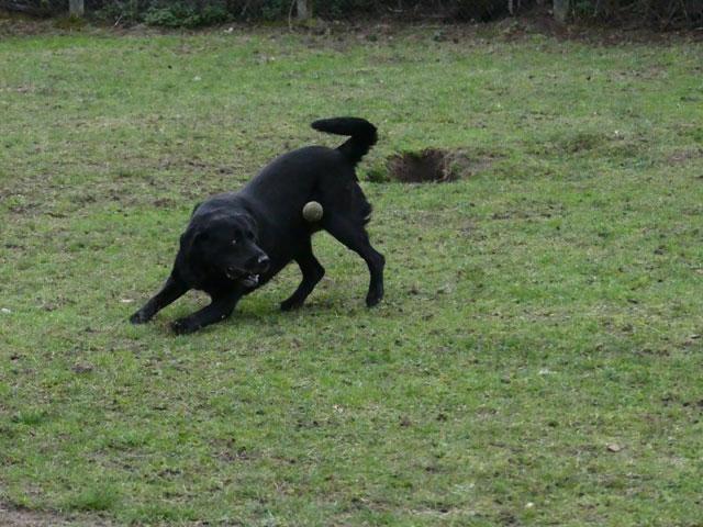 HUGO (Labrador) Hugo610