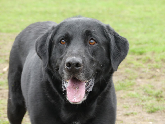 HUGO (Labrador) Hugo810