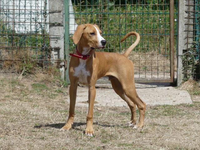 LE KID (Beagle croisé Boxer) Lekid112