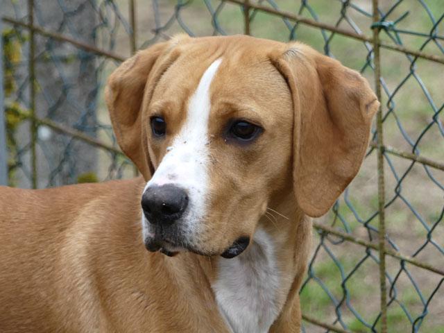 LE KID (Beagle croisé Boxer) Lekid113