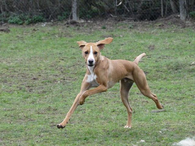 LE KID (Beagle croisé Boxer) Lekid114