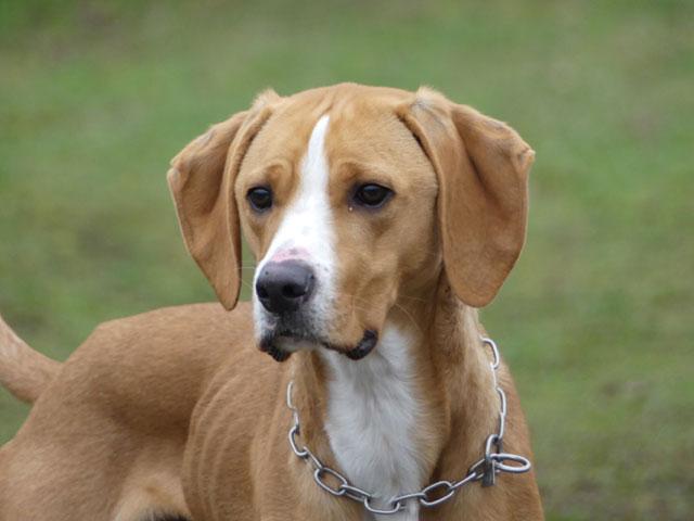 LE KID (Beagle croisé Boxer) Lekid115