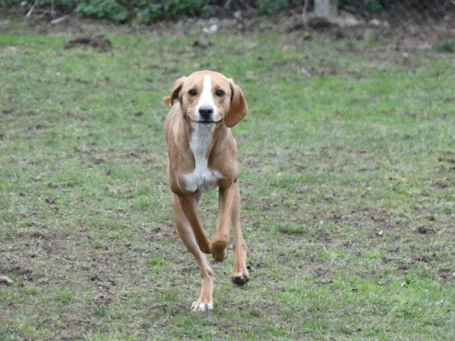LE KID (Beagle croisé Boxer) Lekid210