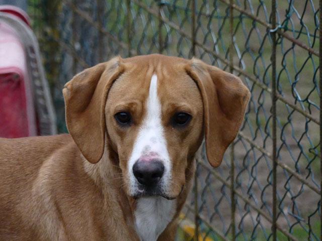 LE KID (Beagle croisé Boxer) Lekid510
