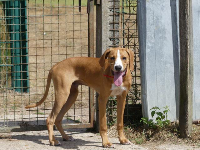 LE KID (Beagle croisé Boxer) Lekid910
