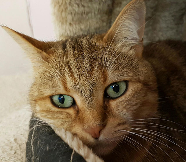 LILI (Tigrée rousse) Lili111