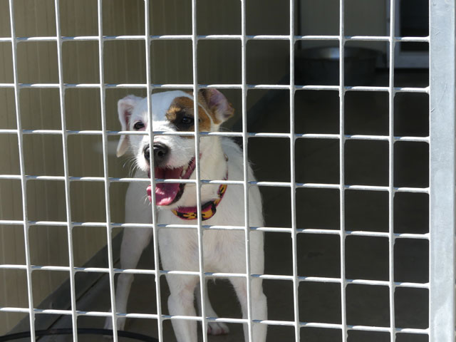 ROXANE (Terrier Jack Russel) Roxane10