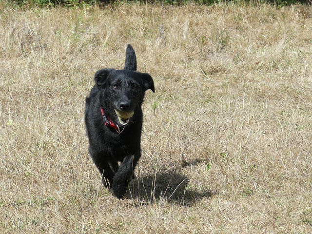RYN (Croisée Labrador) Ryn3410