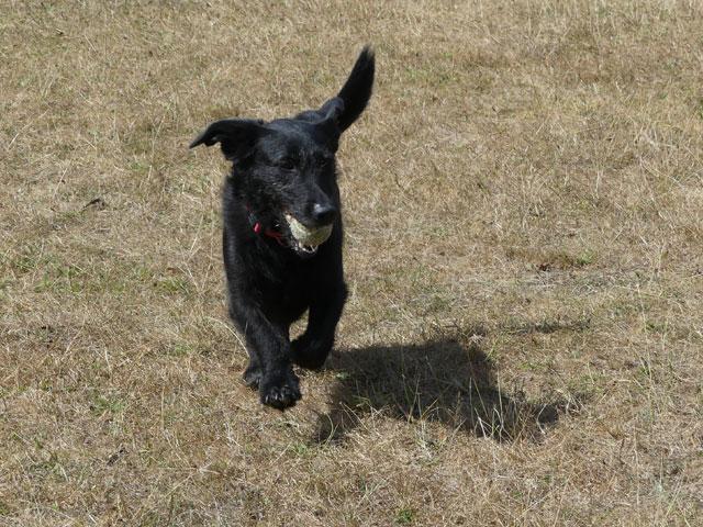 RYN (Croisée Labrador) Ryn410
