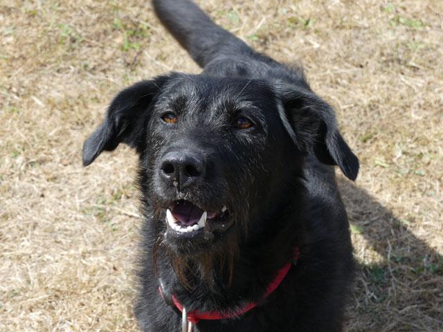 RYN (Croisée Labrador) Ryn510