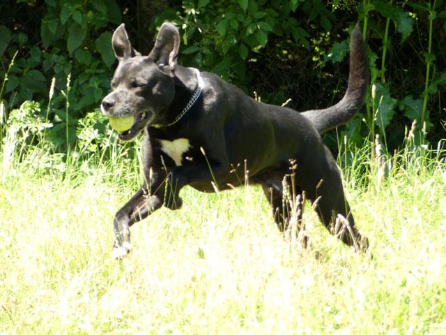 SNOOCY (Croisé Labrador) Snoocy12