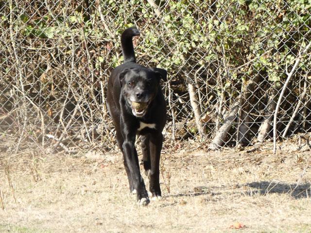 SNOOCY (Croisé Labrador) Snoocy21