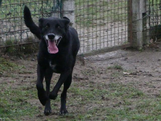 SOOKIE (Croisée Labrador) Sookie11