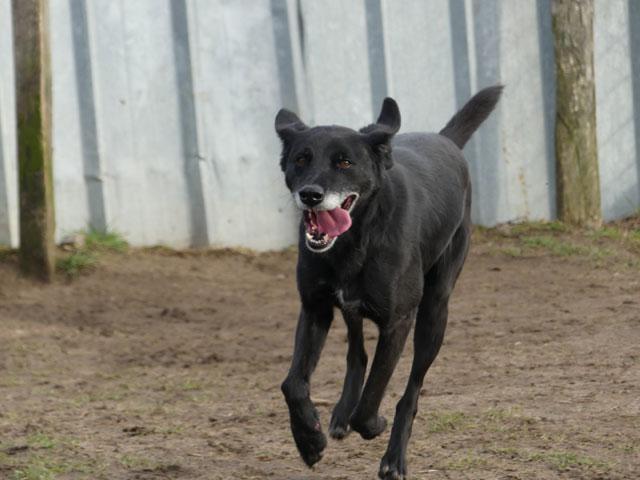 SOOKIE (Croisée Labrador) Sookie16