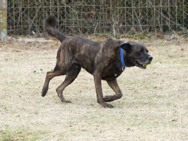 TEX (boxer X berger allemand) - Page 2 Tex111