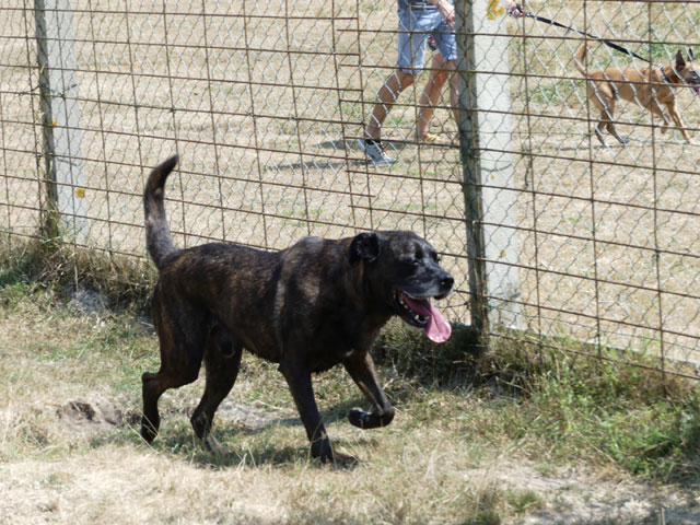 TEX (boxer X berger allemand) - Page 2 Tex410