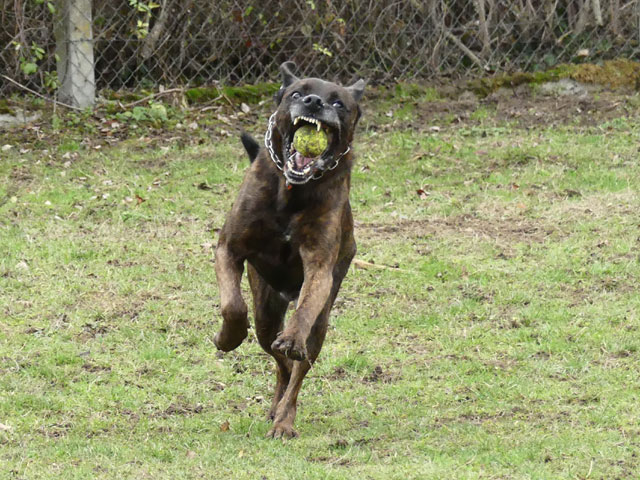 TEX (boxer X berger allemand) - Page 2 Tex711