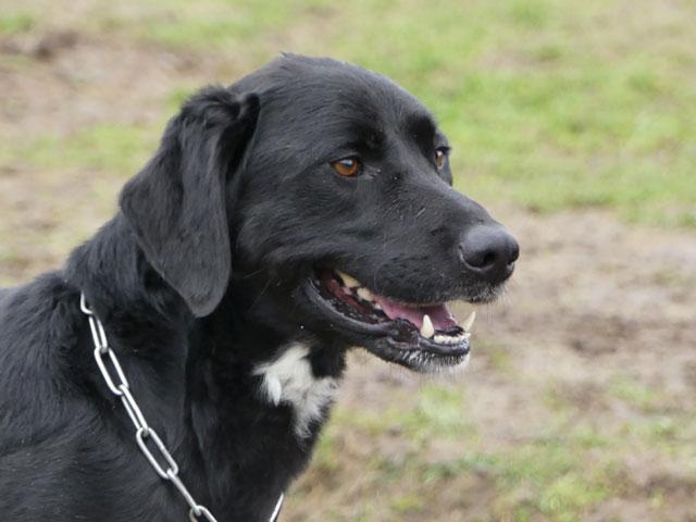 TOM (Labrador) Tom1010