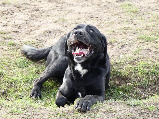 TOM (Labrador) Tom210