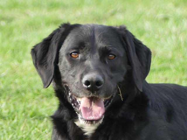 TOM (Labrador) Tom211