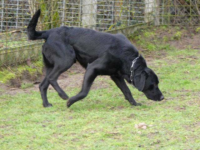 TOM (Labrador) Tom310