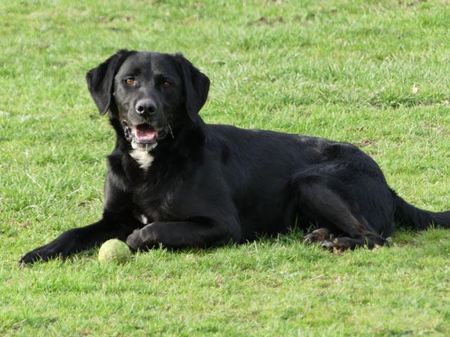 TOM (Labrador) Tom311