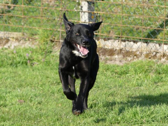 TOM (Labrador) Tom312