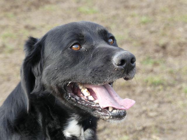 TOM (Labrador) Tom410