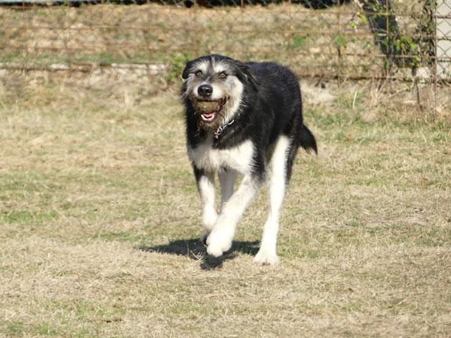 YAKARI (Husky croisé Griffon) Yakari15