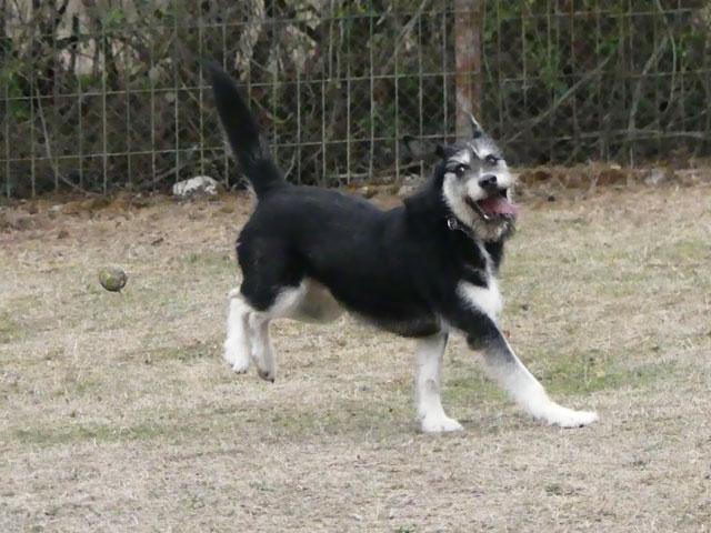 YAKARI (Husky croisé Griffon) Yakari18