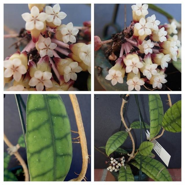 "Hoya Callistophylla ""Long Leaf"" Hoyas10"