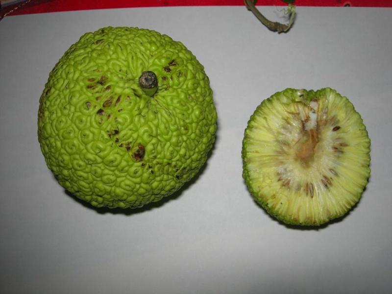 identification de cet arbre .(maclura oranger des osages) Dscn3310