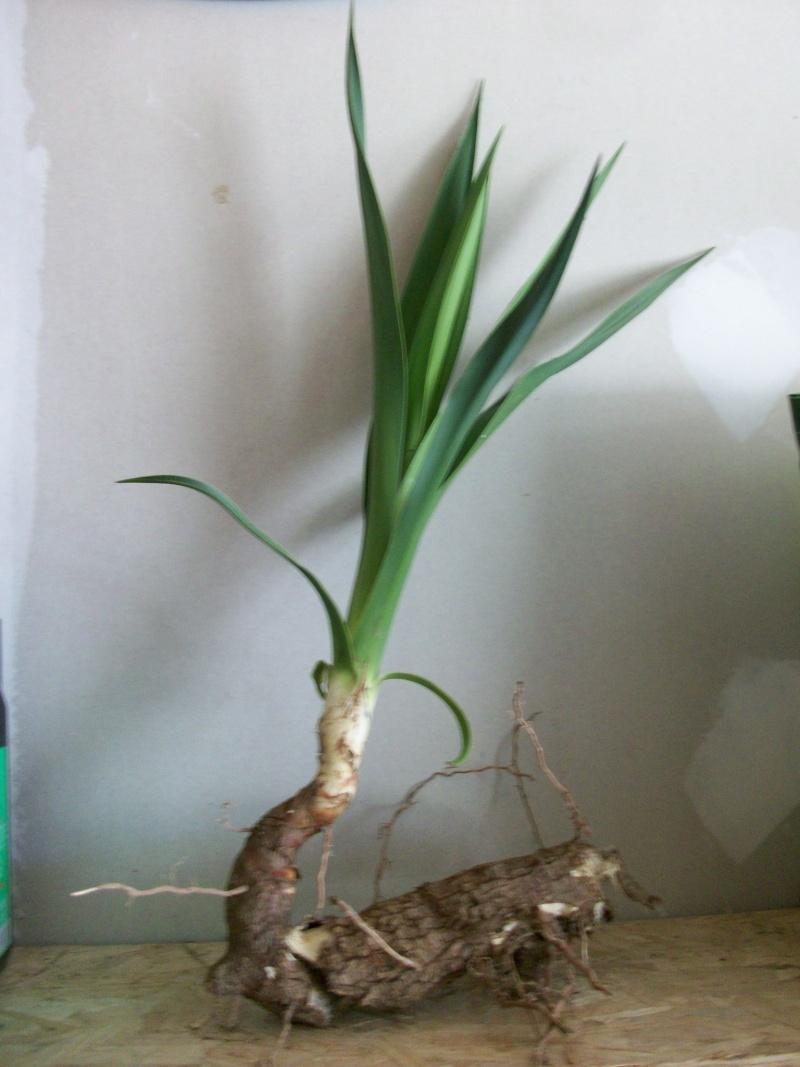 planter un Yucca 100_1010