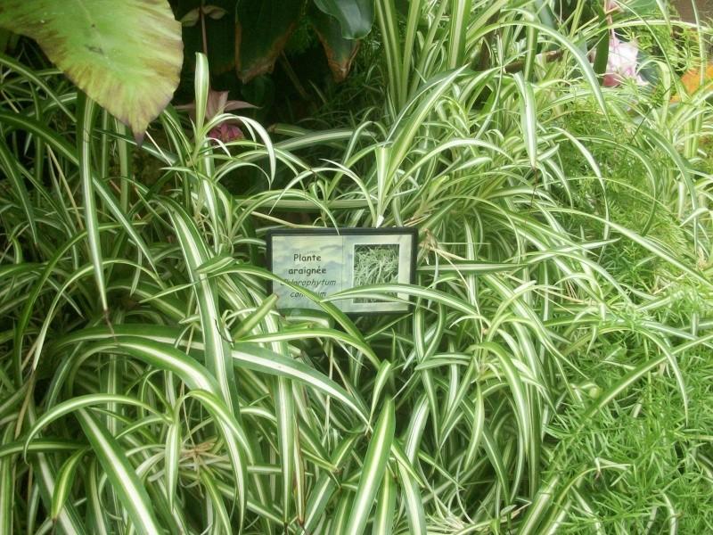 Plante Araignée 100_1816