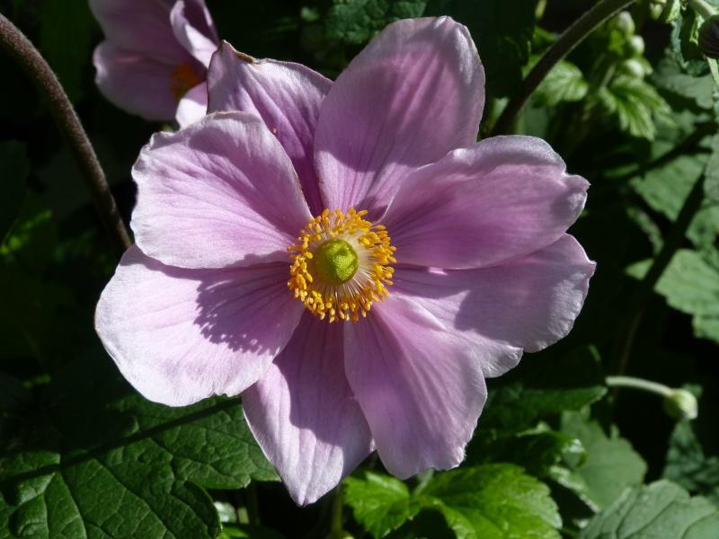 anemones du japon  P1150621