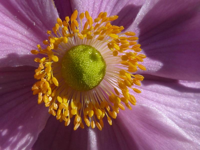 anemones du japon  P1150622