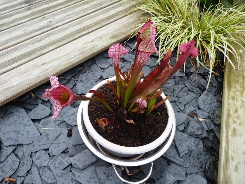 Sarracenia Pourpre  - Page 2 P1170563