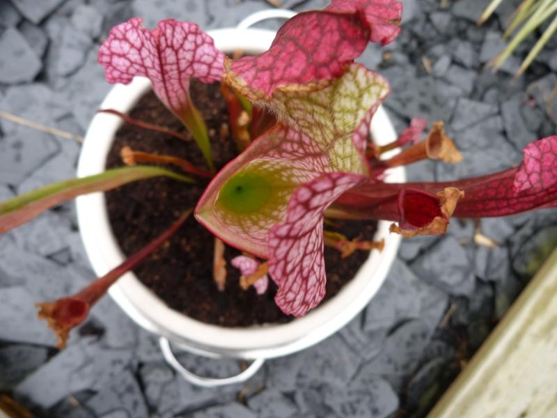 Sarracenia Pourpre  - Page 2 P1170564