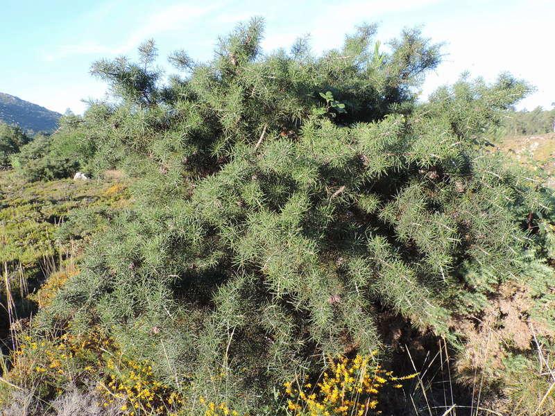 Hakea sericea, Proteaceae,  invasive Dscn7827