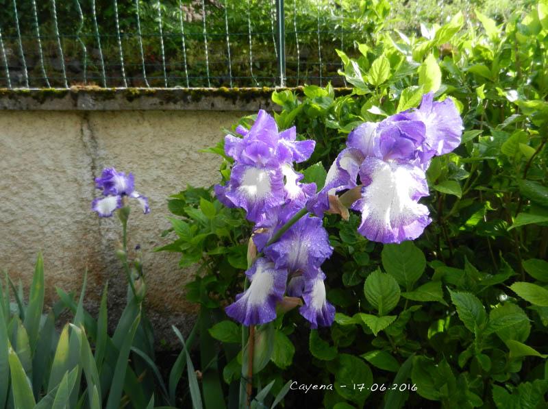 L'évolution de mon petit jardin ! 2016-118