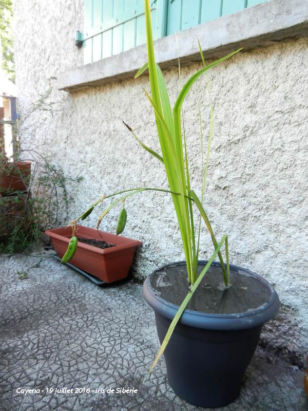 L'évolution de mon petit jardin ! 2016-141